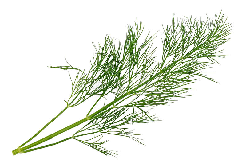 Dill sprig. On a white background stock photos