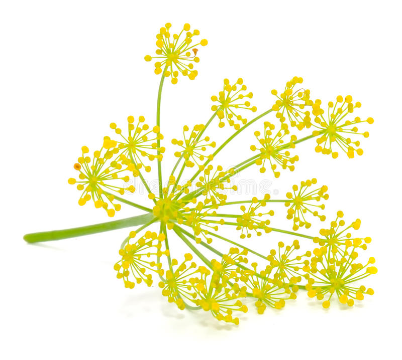 Free Dill Umbel Royalty Free Stock Photo - 21399265