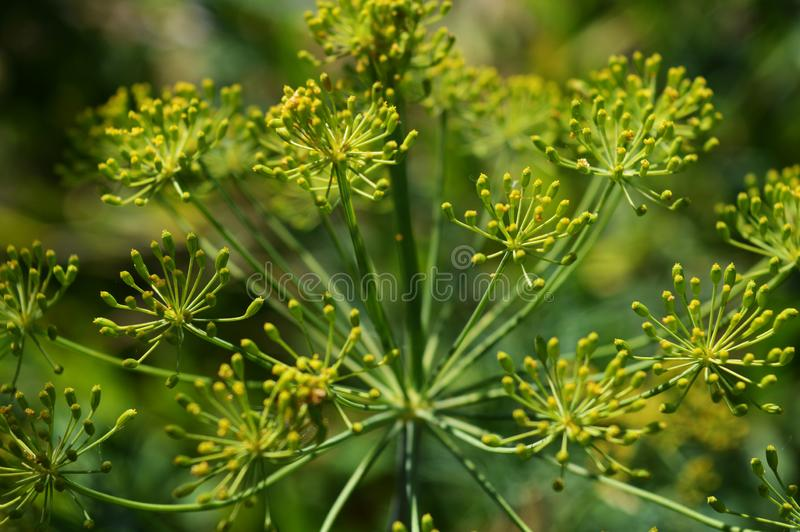Dill umbrella. Outdoor photo in the garden. Close up photo of fennel. Beautiful summer plant. Bright dill flowers stock image