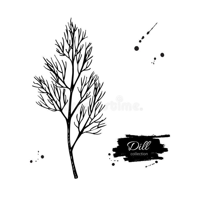 Dill vector hand drawn illustration. Isolated spice object. Engraved style seasoning. Detailed organic product sketch. Cooking flavor ingredient. Great for royalty free illustration