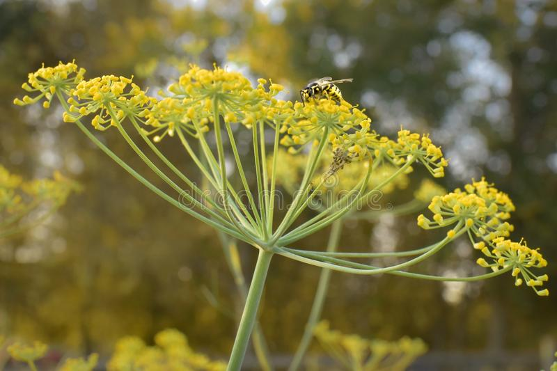 Dill with Wasp. Dill flower head with a wasp on top in the garden royalty free stock photos