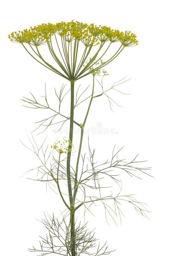 Dille (Anethum graveolens) stock afbeeldingen
