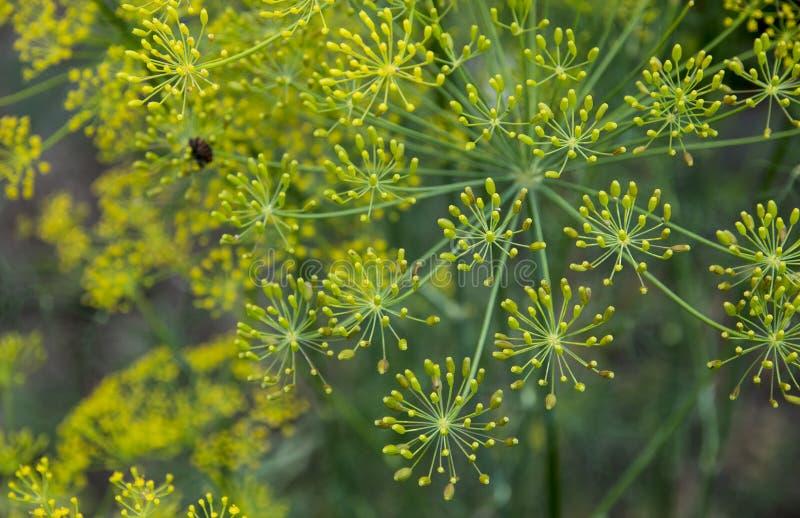 Dille (Venkel) bloem royalty-vrije stock foto