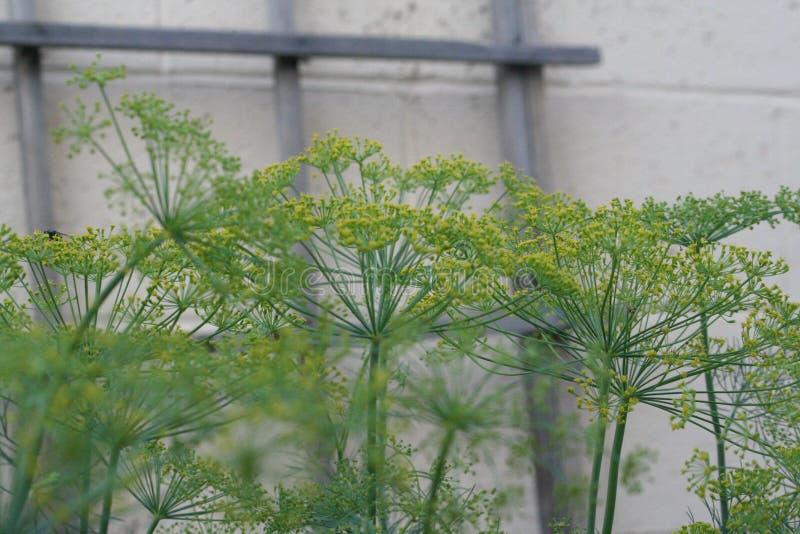 Dillebloemen stock afbeelding
