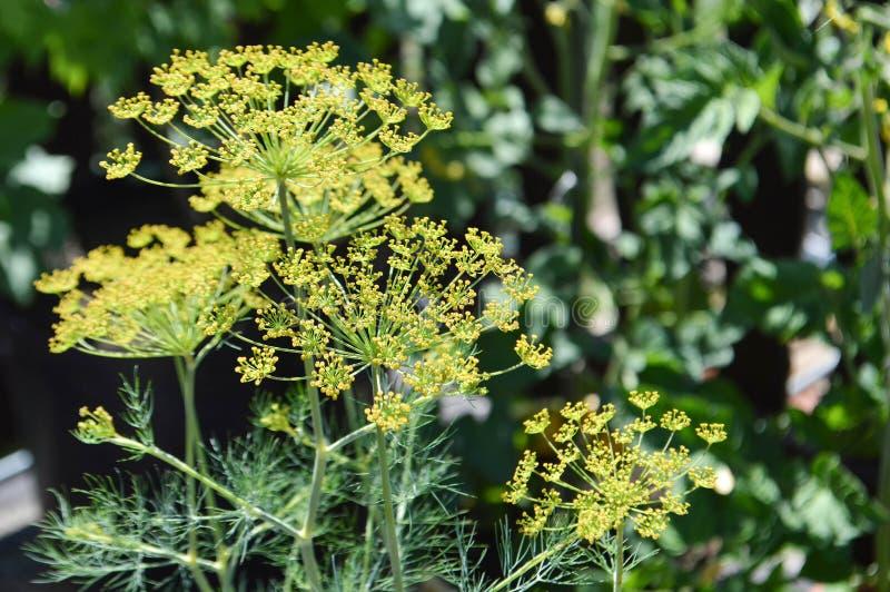 Dillebloemen in tuin royalty-vrije stock afbeeldingen