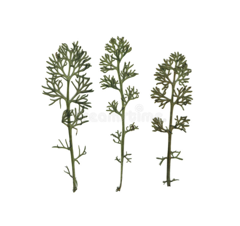 dilled Koper Herbarium Skład trawa na białym tle obraz stock