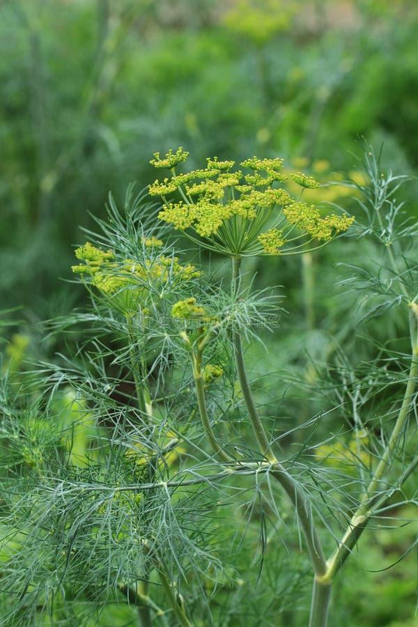 Dilleinstallatie en bloem stock afbeelding