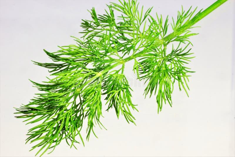 Dillträdgård - örtartad växt som kryddar för mat Dill är en populär aromatisk krydda, angenäm smak, använde nytt, torkat i salt royaltyfri fotografi