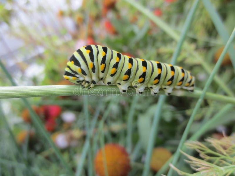 Dillweed łasowania zieleń, czerń i pomarańcze, Caterpillar obraz royalty free