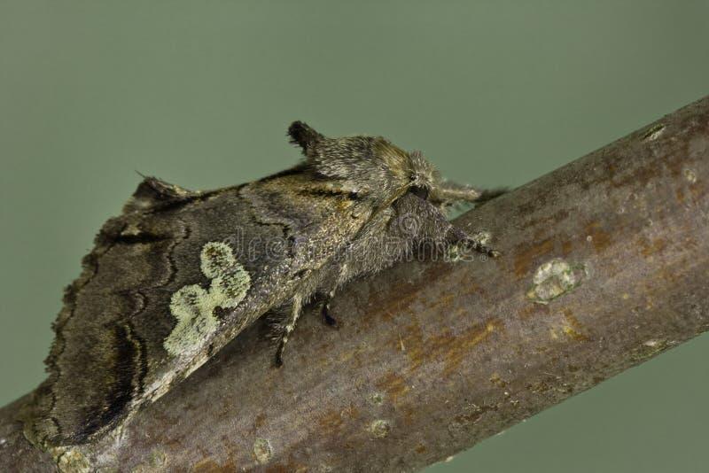 diloba caeruleocephala στοκ εικόνες