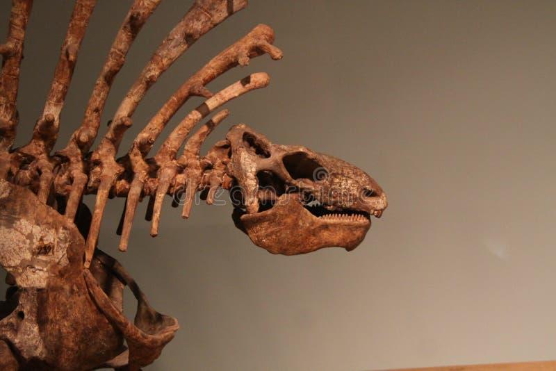 Dimetrodon imagen de archivo libre de regalías