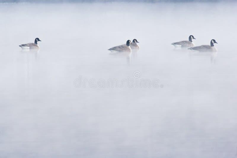 dimmagäss fotografering för bildbyråer