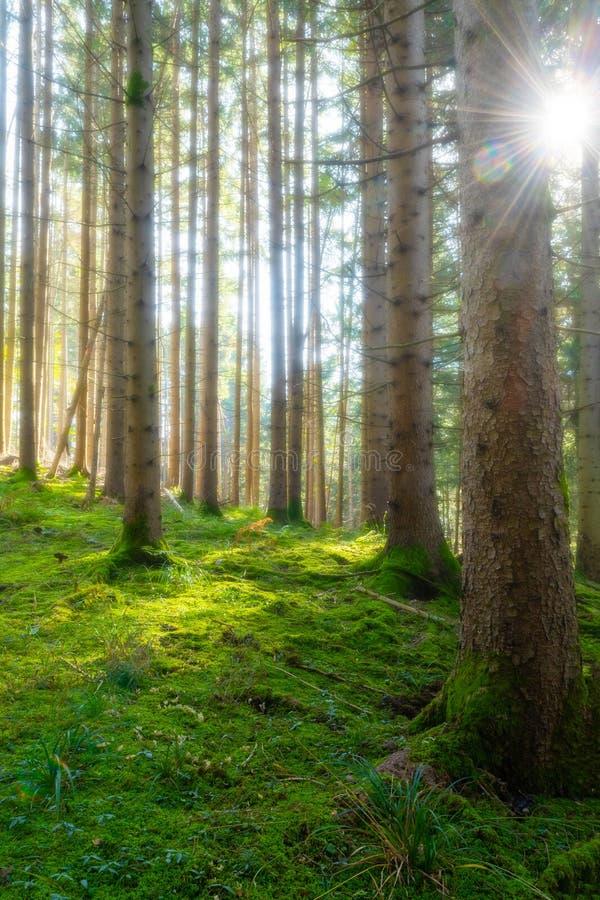 Dimmig barrskog med grön undervegetation och sol som skiner till och med träd royaltyfri foto