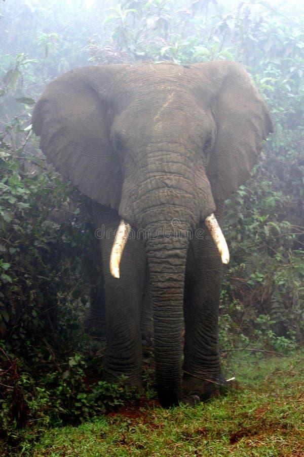 dimmig elefant royaltyfri foto