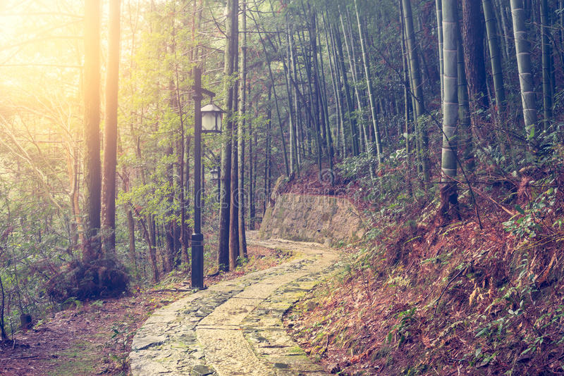 Dimmig morgon i bambuskogen i den Huangshan nationalparken royaltyfri bild