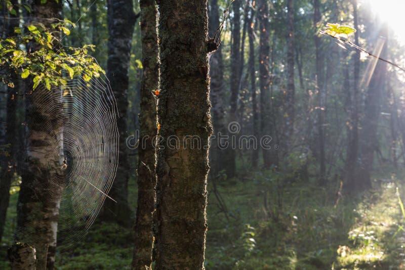 Dimmig morgon i skogen, det Karelian näset, Ryssland royaltyfri fotografi