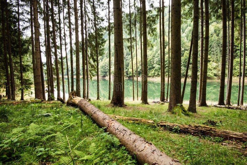 Dimmig morgon i träna skog med trädstammar arkivbild