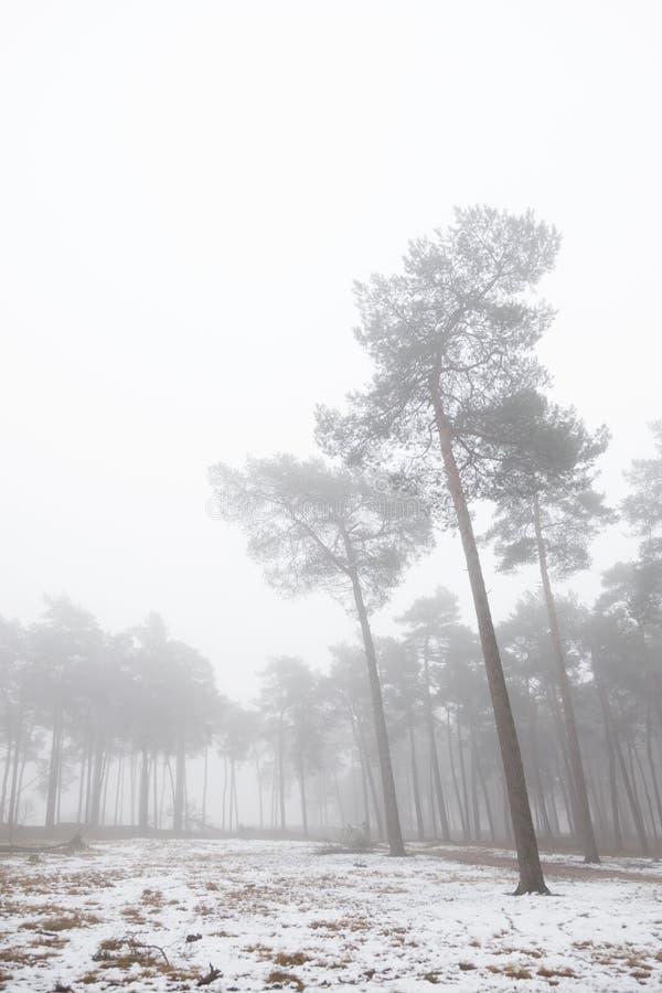 Dimmig pinjeskog och insnöad vinter nära zeist i det netherlan royaltyfri fotografi