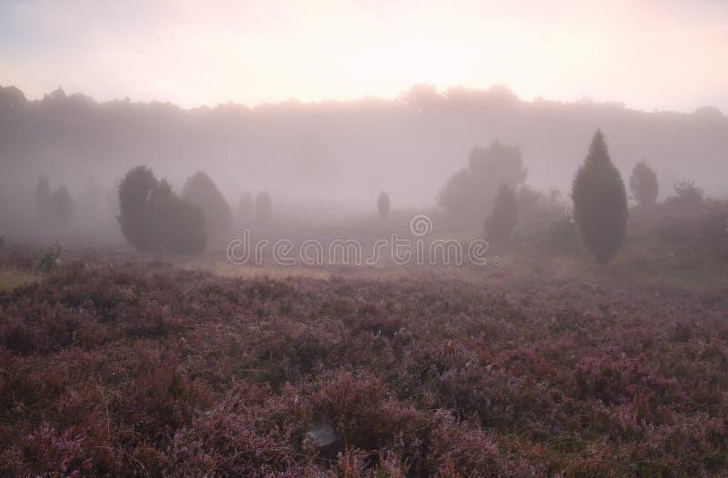 Dimmig soluppgång över blomningljungkullar arkivfoto