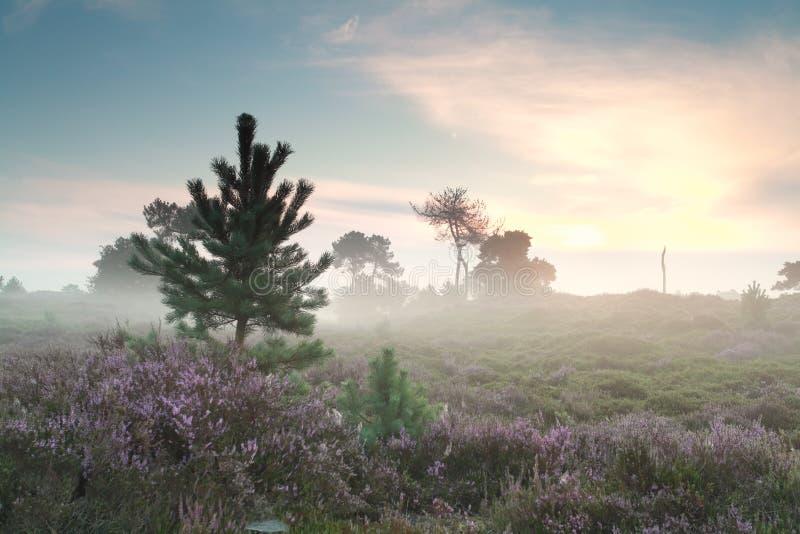 Dimmig soluppgång- och blomningljung royaltyfri foto