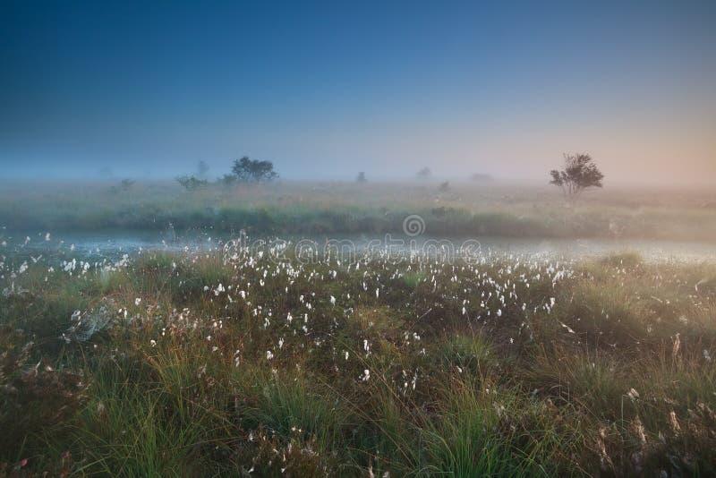Dimmig sommarsoluppgång över träsk med bomull-gräs royaltyfria bilder