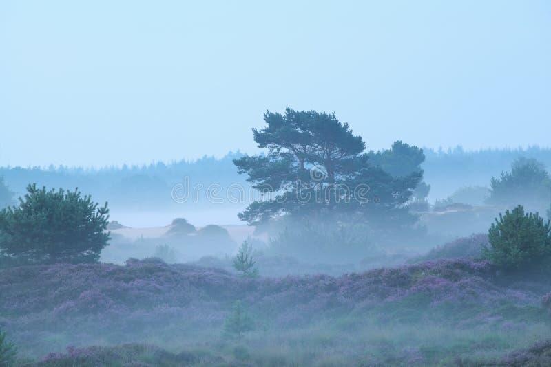 Dimmiga kullar med ljung i morgon arkivfoto