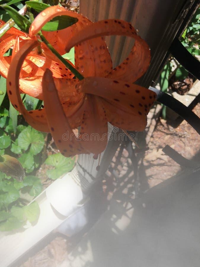 Dimmiga Tiger Lily fotografering för bildbyråer