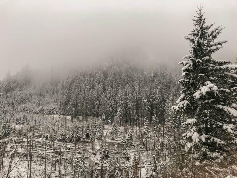 Dimmigt dimmigt berglandskap med granskogen royaltyfri bild