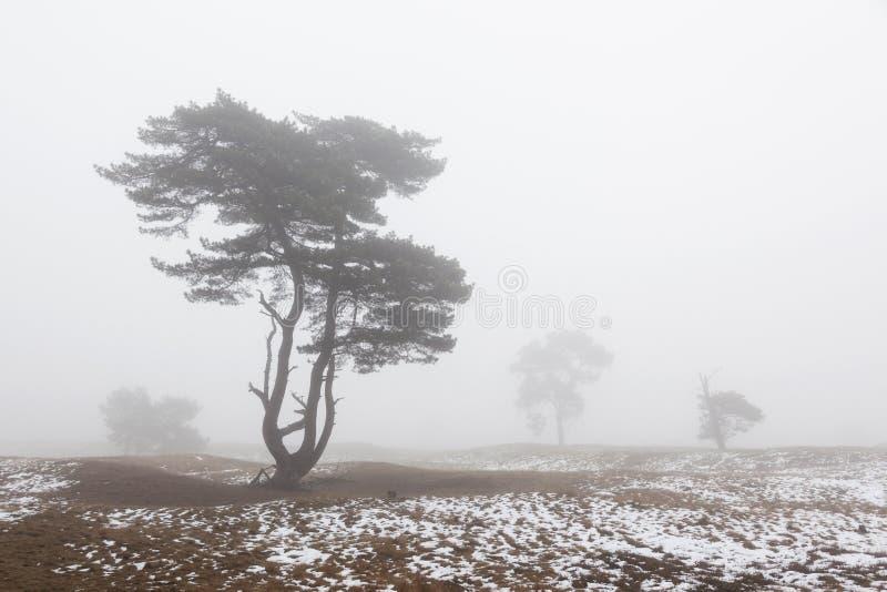 Dimmigt sörja träd och den insnöade vintern på hed nära zeist i nen royaltyfri bild