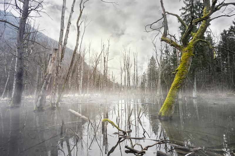 Dimmigt träsk för mystiker med döda träd royaltyfria bilder