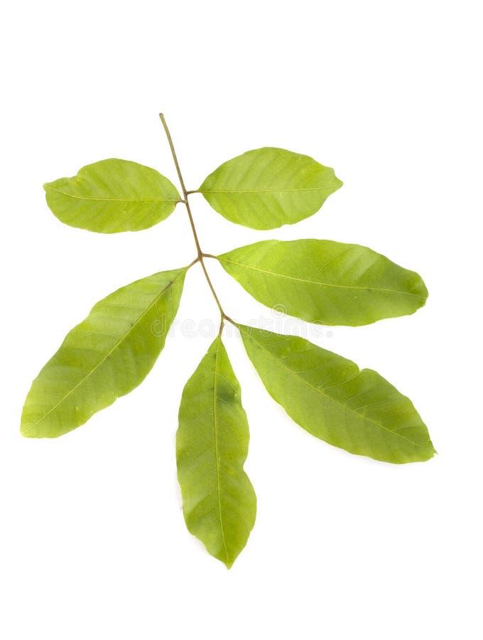 Dimocarpus longansidor på bakgrund royaltyfri bild