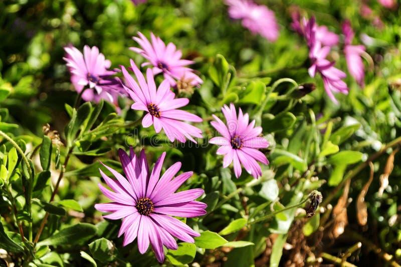 Dimorphoteca ecklonis kwitną w ogródzie obraz royalty free