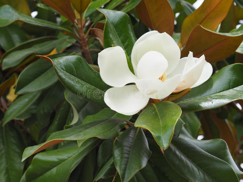 din magnolia f?r bakgrundsdesignblomning royaltyfria foton