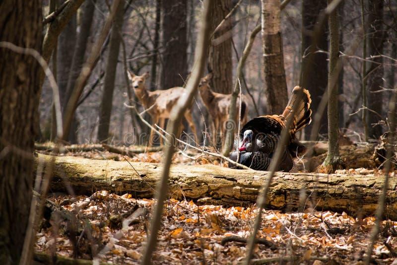 Dinde et cerfs communs sauvages photo libre de droits