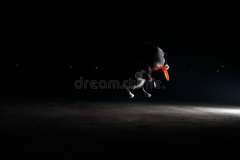 Dingding, милая Коллиа границы: летать стоковые фото