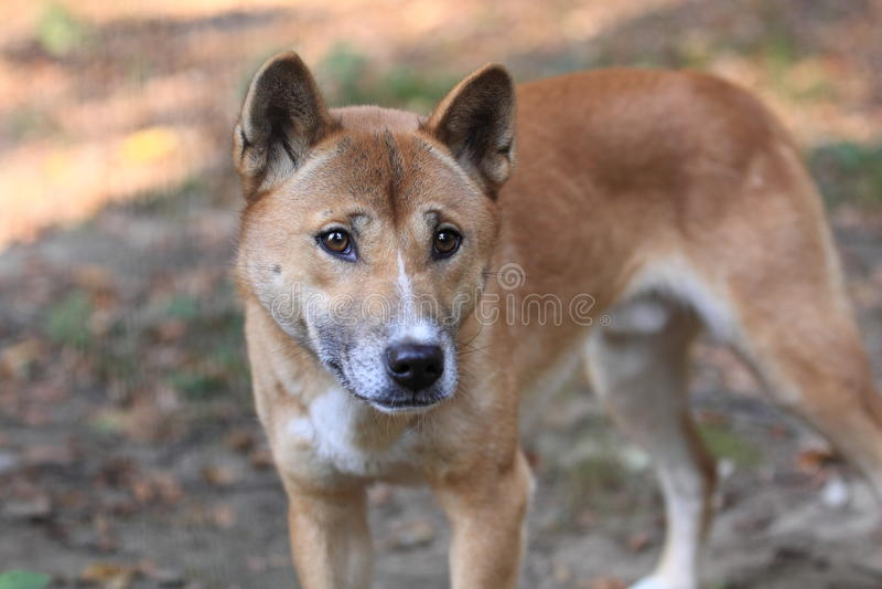 Dingo των Μπους στοκ φωτογραφίες