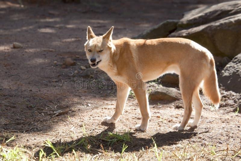 dingo стоковые изображения