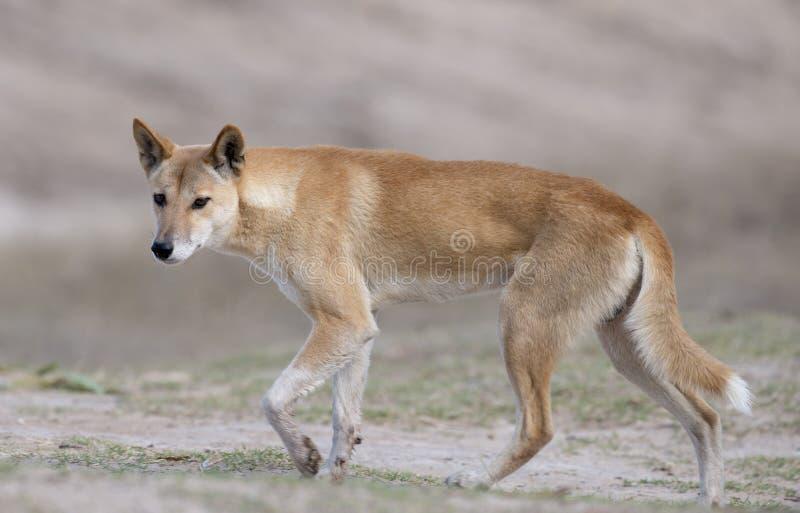 Dingo στοκ φωτογραφίες
