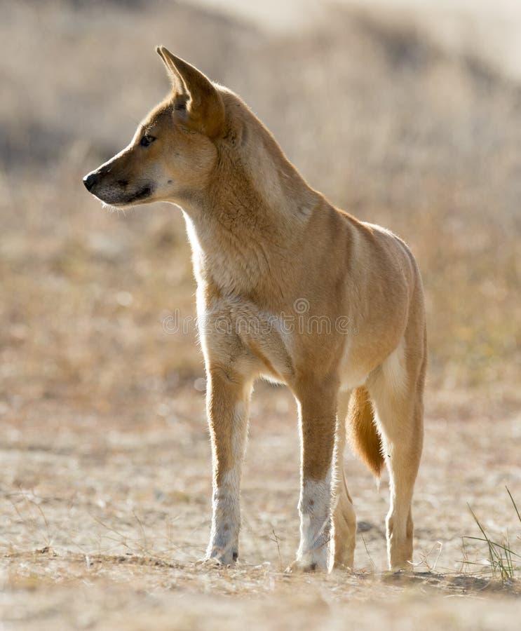 dingo fotografering för bildbyråer