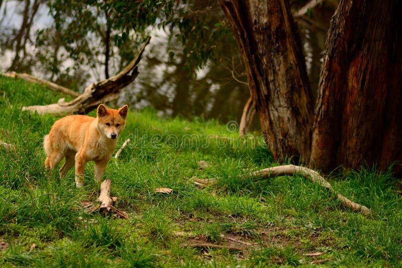 dingo στοκ φωτογραφία με δικαίωμα ελεύθερης χρήσης
