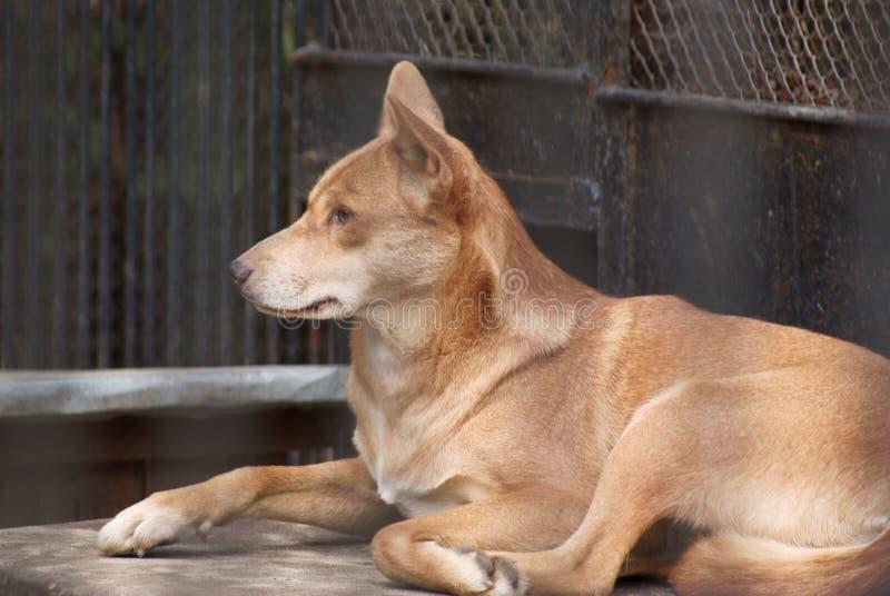 Dingo photo stock