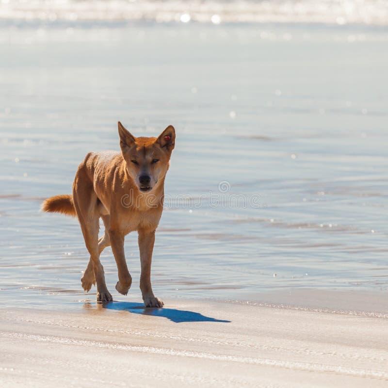 dingo στοκ φωτογραφία