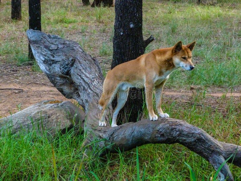 Download Dingo stock image. Image of alert, endemic, tropical - 60501633