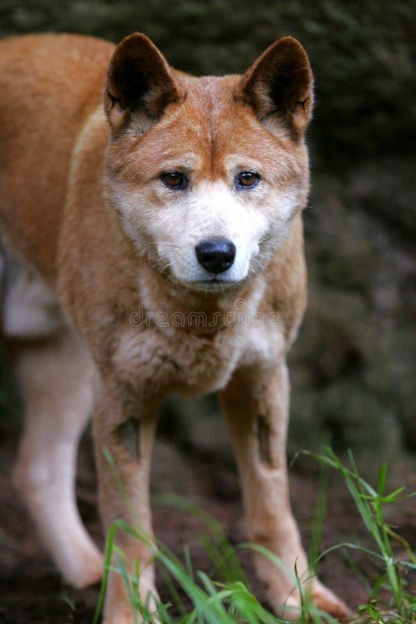 Dingo australiano imagem de stock royalty free