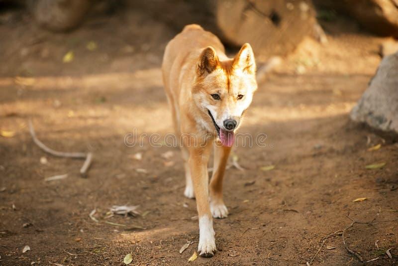 Dingo australiano fotografía de archivo libre de regalías