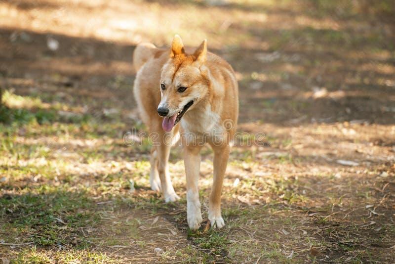 Dingo australiano fotos de archivo libres de regalías