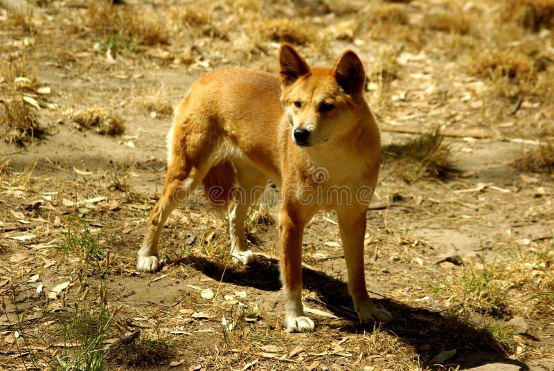 Dingo australiano (dingo do lúpus de canis) imagem de stock
