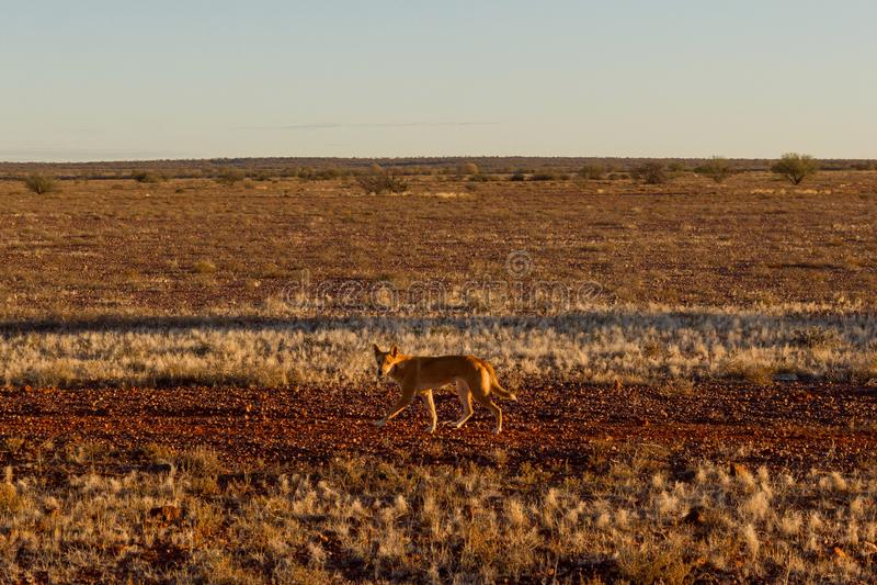 Dingo australiano que procura uma rapina no meio do interior em Austrália central O dingo está olhando para a esquerda, imagens de stock