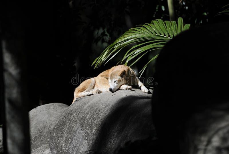 Dingo australien sauvage sunbaking, île de fraser, Queensland, aust image stock