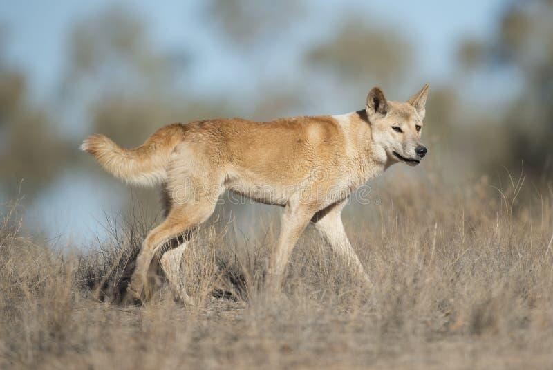 dingo australijski obraz stock